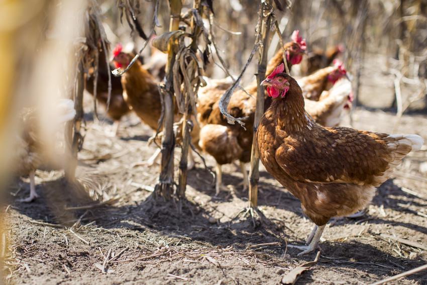 Sophie Nuytten bij bioboerderij Taemhoeve bio mijn natuur kip biokip eieren