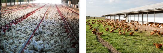 Kippen-verschil.png#asset:80258:url