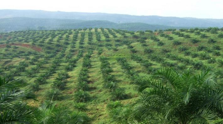 Palmvelden in Indonesië