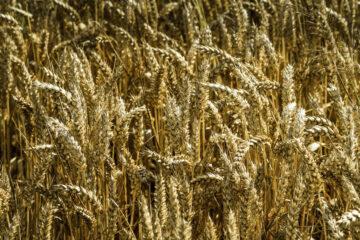 KVL Creative Nature Bio Mijn Natuur glyfosaat tarwe biologisch pesticiden