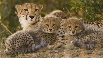 Cheetah Momcubs
